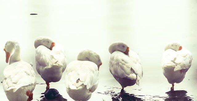 geese sleep