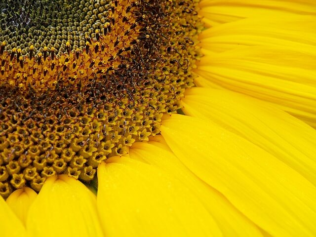 sunflower polkey